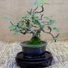 Fíkovník jako bonsai - kliknutím zobrazíte obrázek v plné velikosti