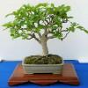 Bonsai z fíkovníku - kliknutím zobrazíte obrázek v plné velikosti