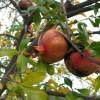 Granátová jablka - kliknutím zobrazíte obrázek v plné velikosti