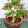 Marhaník granátový - bonsai - kliknutím zobrazíte obrázek v plné velikosti