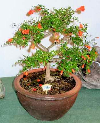 Marhaník granátový - bonsai