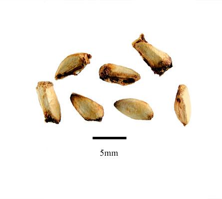 Semena granátovníku