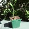 Jackfruit - pěstování