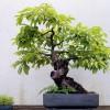 Tomel japosnký ve formě bonsaie - kliknutím zobrazíte obrázek v plné velikosti
