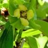 Květ tomelu - kliknutím zobrazíte obrázek v plné velikosti