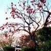 Kaki na stromě po opadu listů - kliknutím zobrazíte obrázek v plné velikosti