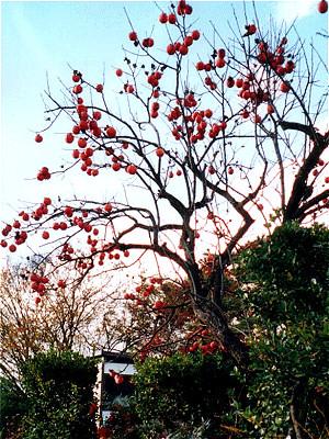 Kaki na stromě po opadu listů