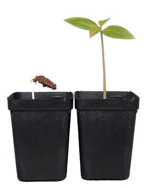 Mladé rostlinky tomelu japosnkého (kaki)