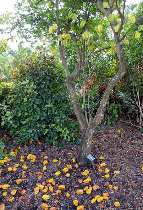 Karambola - strom