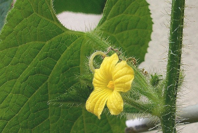 Květ kiwana