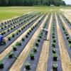 Pěstování kiwana ve velkém - kliknutím zobrazíte obrázek v plné velikosti