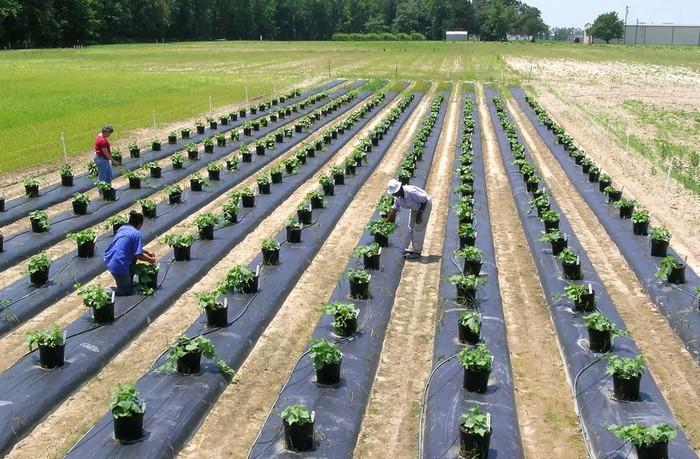Pěstování kiwana ve velkém