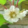 Actinidia chinensis - květ - kliknutím zobrazíte obrázek v plné velikosti