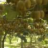 Kiwi - kliknutím zobrazíte obrázek v plné velikosti