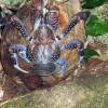 Krab palmový - kliknutím zobrazíte obrázek v plné velikosti  - Největší suchozemský krab na světě. Krab palmový se dorůstá délky až 40cm a dosahuje hmot ...