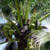Palma s kokosovými ořechy - kliknutím zobrazíte obrázek v plné velikosti