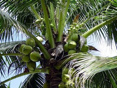 Palma s kokosovými ořechy