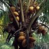 Kokosové ořechy - kliknutím zobrazíte obrázek v plné velikosti