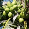 Kokosy - kliknutím zobrazíte obrázek v plné velikosti