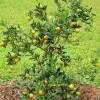 Mladý keř kumquatu - kliknutím zobrazíte obrázek v plné velikosti