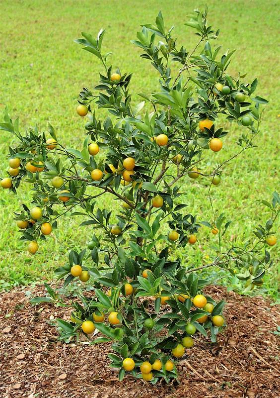 Mladý keř kumquatu