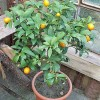 Kumquat v květináči - kliknutím zobrazíte obrázek v plné velikosti