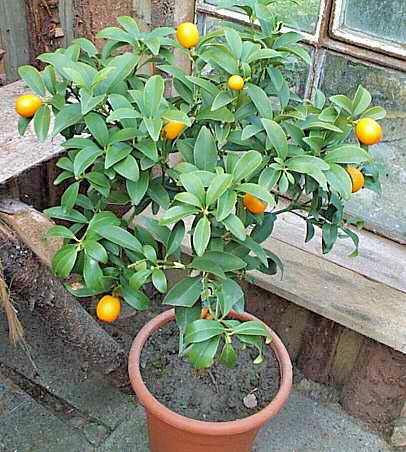 Kumquat v květináči