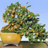 Kumquat - bonsai - kliknutím zobrazíte obrázek v plné velikosti