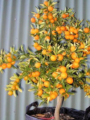 Kumquat bohatě obsypaný plody