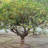 Kumquat - strom - kliknutím zobrazíte obrázek v plné velikosti
