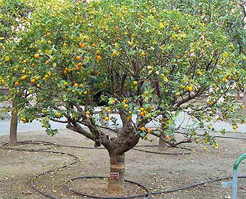Kumquat - strom