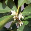 Květy kuquatu - kliknutím zobrazíte obrázek v plné velikosti