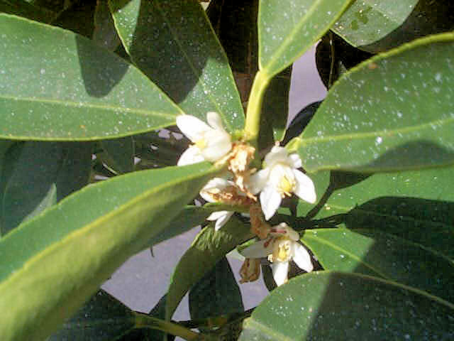 Květy kuquatu