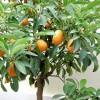 Kumquat - kliknutím zobrazíte obrázek v plné velikosti