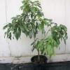 Rostlina liči - kliknutím zobrazíte obrázek v plné velikosti