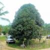 Vzrostlé mango - kliknutím zobrazíte obrázek v plné velikosti