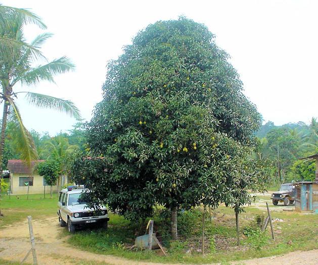Vzrostlé mango