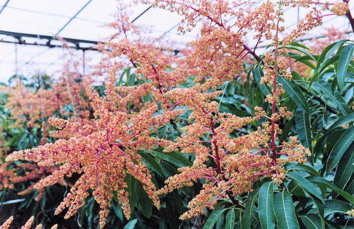 Květy manga