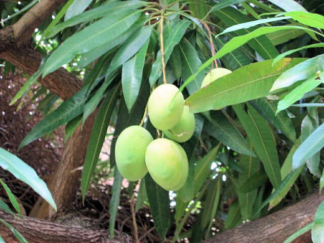 Zrající mango na stromě