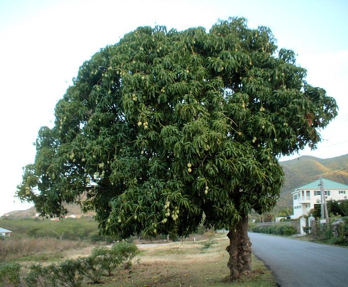 Dospělé mango