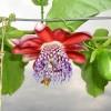 Passiflora alata - kliknutím zobrazíte obrázek v plné velikosti