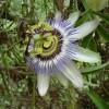Passiflora caerulea - květ - kliknutím zobrazíte obrázek v plné velikosti