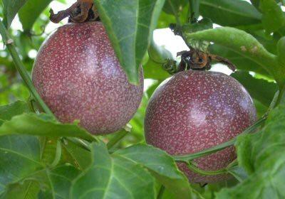 Passiflora Edulis - ovoce na stromě