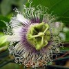 Passiflora edulis - kliknutím zobrazíte obrázek v plné velikosti