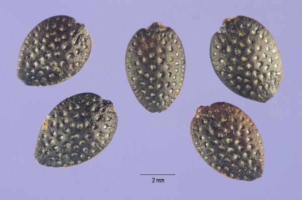 Passiflora edulis - semena
