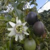 Passiflora edulis f. edulis - kliknutím zobrazíte obrázek v plné velikosti