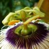 Passiflora edulis flavicarpa - kliknutím zobrazíte obrázek v plné velikosti