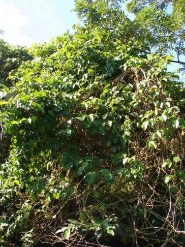 Passiflora edulis vine