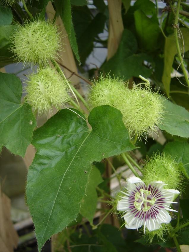 Passiflora foetida - květ