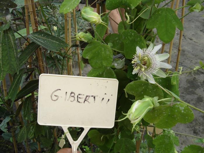 Passiflora gibertii